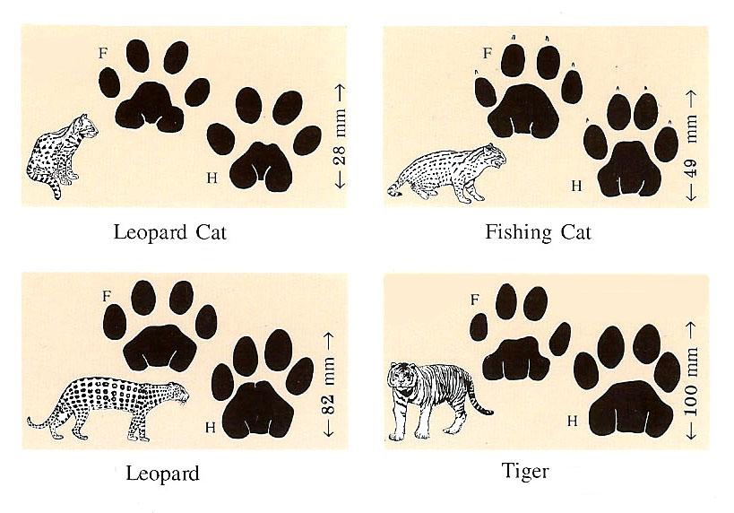 马泰印的野生动物脚印